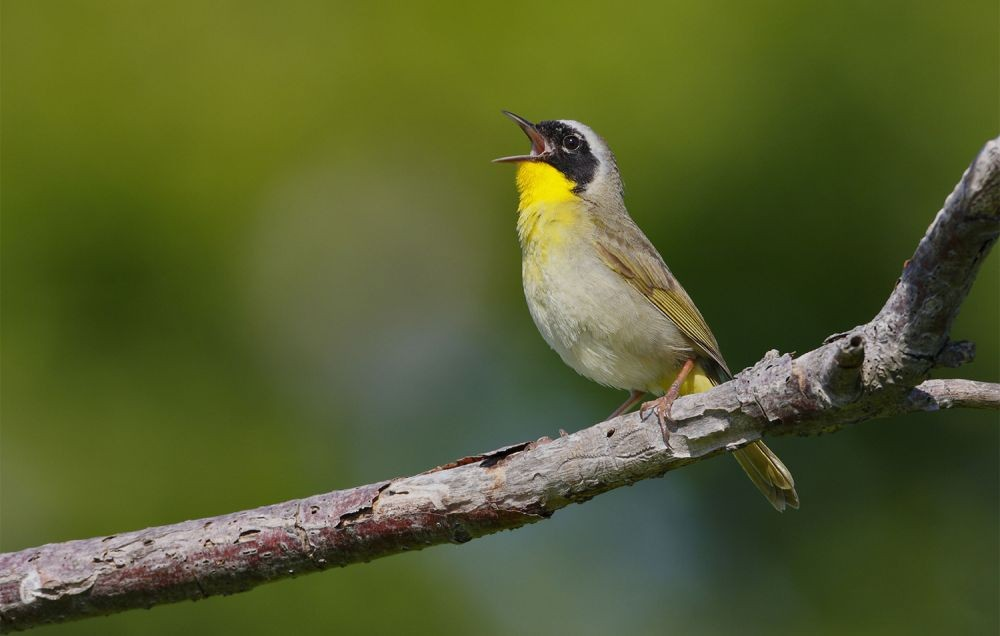 Song Sleuth Species Spotlight: Common Yellowthroat