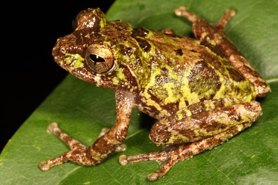 Eight new critically endangered frog species discovered