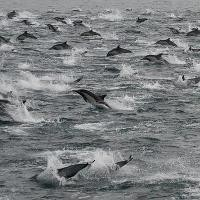 Super Mega Pod of Dolphins spotted off San Diego Coast!