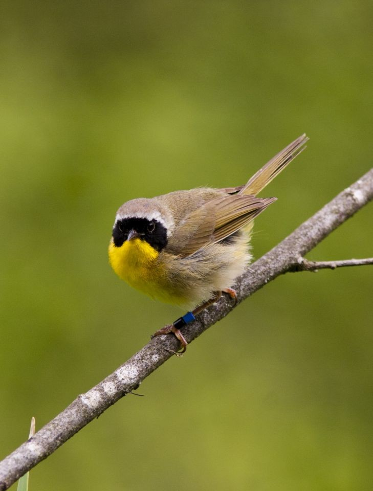 Male Birds Sing for Their Fertile Female Neighbors Too: A Song Meter Case Study