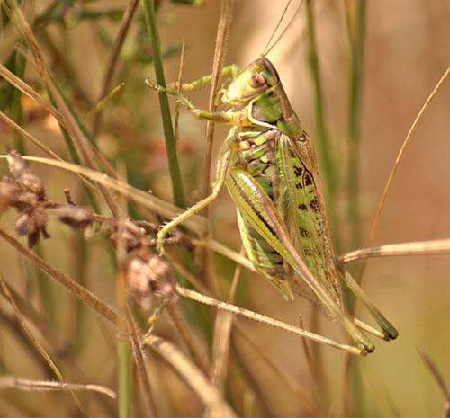 Acoustic activity and conservation of the endangered heath bush-cricket Gampsocleis glabra (Orthopetera, Tettigonioidea) on xerothermic habitats in southeastern Poland