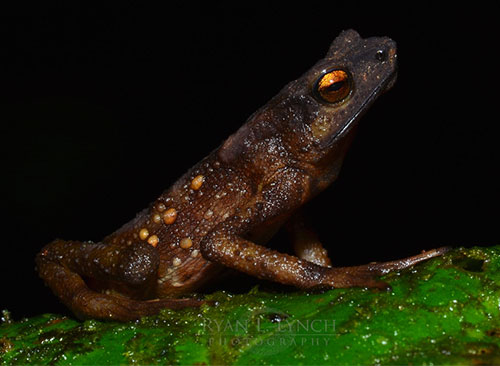 Population monitoring of the long lost and thought extinct Tandayapa Andean Toad in Northwest Equador.