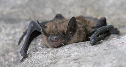 Detecting and protecting endangered bat species in Southern Quebec
