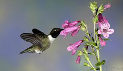 Detecting how weather, plant phenology and abundance of available nectar influence hummingbird migration.